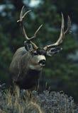 Large Mule Deer Buck. Trophy mule deer buck in rut with light snow falling Royalty Free Stock Images