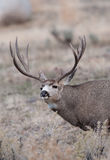 Large mule deer buck picks up on scent Stock Images