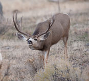 Large mule deer buck picks up on scent. Large mule deer buck during rut, looking at photographer but smelling female scent and approaching a female mule deer royalty free stock images
