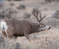Large mule deer buck picks up on scent. Large mule deer buck during rut, smelling female scent and approaching a female mule deer stock image
