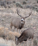 Large mule deer buck Royalty Free Stock Photography