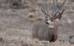 Large mule deer buck Stock Photos
