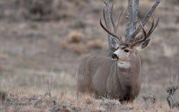 Large mule deer buck stock photos