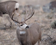 Large mule deer buck Royalty Free Stock Image