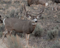 Large mule deer buck Stock Photo