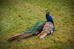 Large multicolored peacock on the lawn Royalty Free Stock Photo