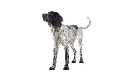 Large Munsterlander dog Royalty Free Stock Photography