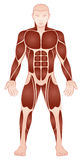 Large Muscle Groups Male Body Front View Stock Photo