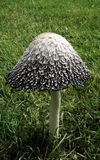 Large Mushroom. Growing in a well groomed, grass lawn Stock Image