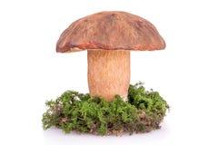 Large mushroom boletus Stock Photos