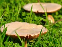Large mushrooms born among grasses Stock Photo