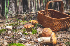 Large mushrooms and wicker basket in forest glade Royalty Free Stock Photography