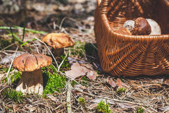 Large mushrooms and wicker basket in forest glade Stock Photo