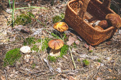 Large mushrooms and wicker basket in forest glade Royalty Free Stock Images