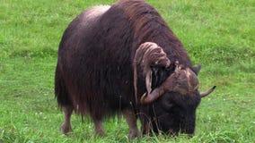 Large musk ox feeding stock video