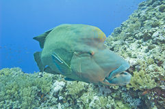 Large napoleon wrasse on a reef royalty free stock photo