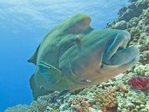 Large napoleon wrasse on a reef stock photos