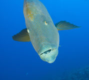 Large napoleon wrasse underwater Stock Photos