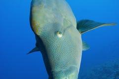 Large napoleon wrasse underwater Stock Photo