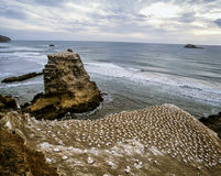 Large nesting colonies of gannets at Muriwai Beach, New Zealand Royalty Free Stock Photos