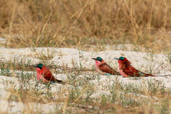 Large nesting colony of Nothern Carmine Bee-eater Royalty Free Stock Photo