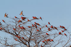 Large nesting colony of Nothern Carmine Bee-eater. (Merops nubicoides) on bank of the Zambezi river in Caprivi Namibia, Africa Royalty Free Stock Photos
