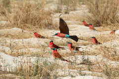 Large nesting colony of Nothern Carmine Bee-eater. (Merops nubicoides) on bank of the Zambezi river in Caprivi Namibia, Africa Stock Photo
