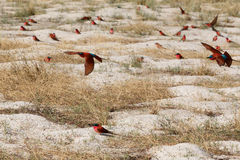 Large nesting colony of Nothern Carmine Bee-eater. (Merops nubicoides) on bank of the Zambezi river in Caprivi Namibia, Africa Stock Image