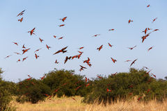 Large nesting colony of Nothern Carmine Bee-eater Royalty Free Stock Photography