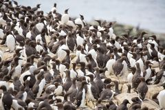 Large nesting seabird colony Royalty Free Stock Photo