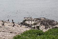 Large nesting seabird colony Stock Image