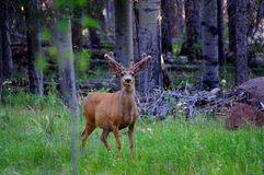 Large buck mule deer standing in forest with antlers in full summer velvet royalty free stock image