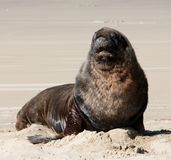A large New Zealand Sea Lion relaxing on a beach at Surat Bay in the Catlins in the South Island in New Zealand stock photography