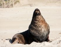 A large New Zealand Sea Lion sunbathing and relaxing on a beach at Surat Bay in the Catlins in the South Island in New Zealand stock photography