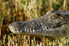 Large African Nile crocodile Royalty Free Stock Photos