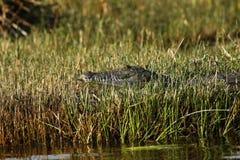 Large Nile crocodile Royalty Free Stock Images