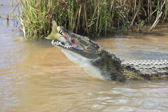 Large nile crocodile eat a fish on river bank Stock Photography