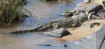 Large nile crocodile eat a fish on river bank Stock Photos