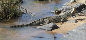 Large nile crocodile eat a fish on river bank Stock Images