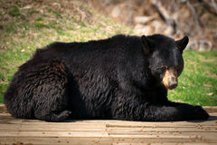 Large North American Black Bear Lying Down Royalty Free Stock Image