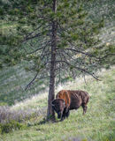 Large North American Plains Bull Bison Rubbing Pine Tree Royalty Free Stock Images