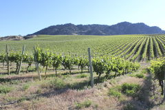 Large North American Vineyard Stock Photo