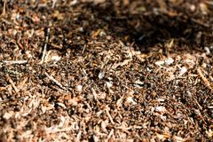 A large number of ants in an anthill. Royalty Free Stock Image