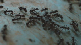 Large number of black ants close-up stock footage