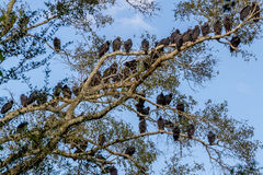 Large Number of Buzzards, Social Birds of Opportunity Roosting. Stock Photography