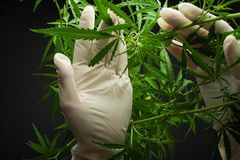 A large number of cannabis flowers the hands of Medetsinsky employee concepts of profuse cultivation stock images
