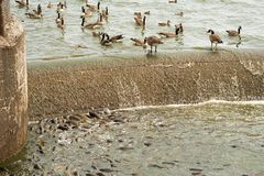 Large number of carp feeding at the spillway royalty free stock photography