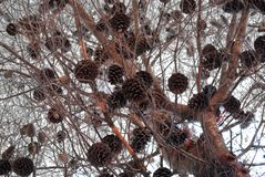 Cones on branches of a tree royalty free stock images
