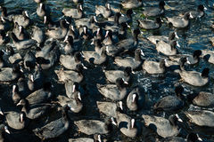 A large number of coots in the sea. Pandemonium coots while feeding on the water Stock Image