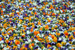 Large number of different colors Pansy Royalty Free Stock Image
